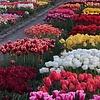 Tulip Store Showtuin Mix