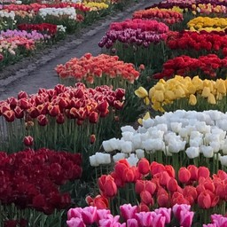 Tulip Store Showtuin Mix