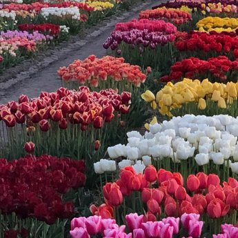 Tulip Store Showgarden Mix