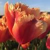 Tulpe Lambada