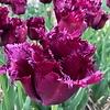 Tulip Gorilla