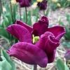 Tulip Crown of Negrita