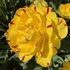 Tulpe Danceline Yellow