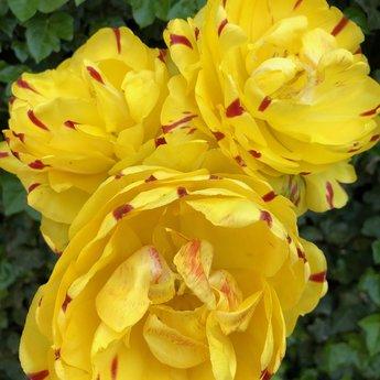 Tulipa Danceline Yellow