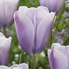 Tulpe Lilac Love