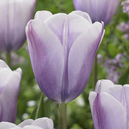 Тюльпан Lilac Love