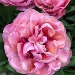Тюльпан Amazing Grace