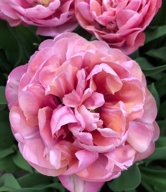 Tulipe Amazing Grace