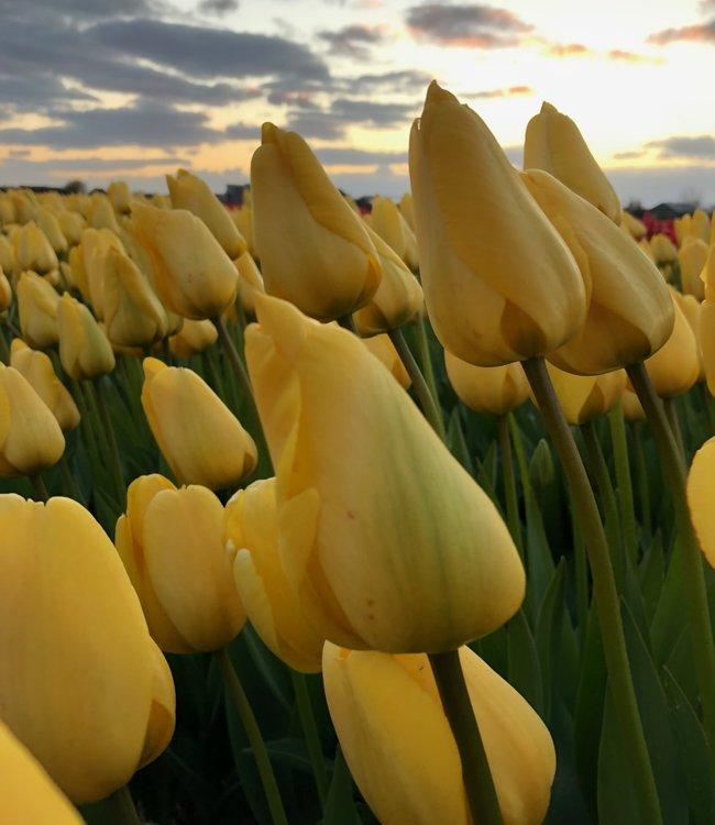 Tulpe Golden Parade