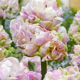 Тюльпан Little Queen