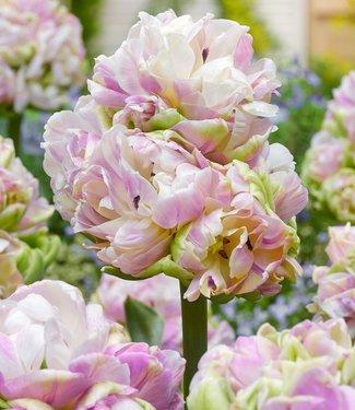 Tulipe Little Queen