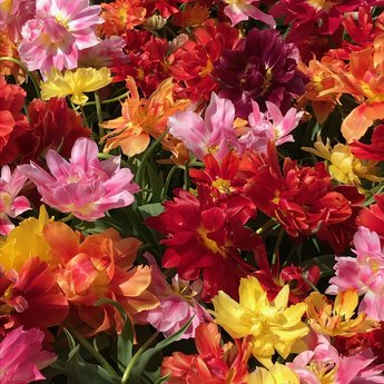 Tulipa Party Time