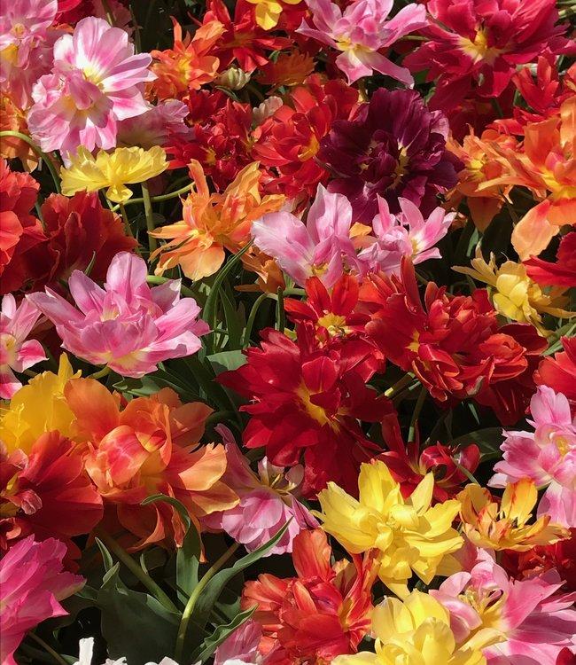 Mélange de tulipes Premix Murillo