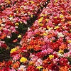 Tulip mixture Party Time