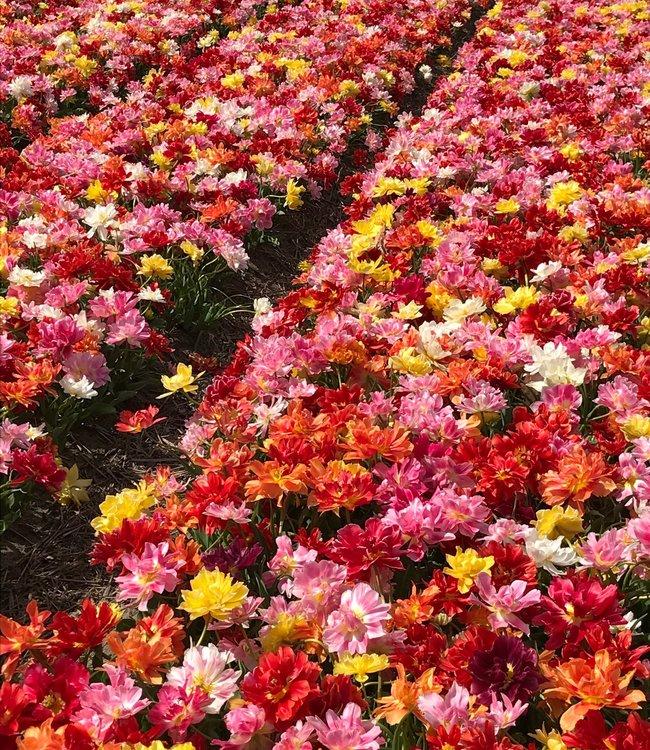 Mélange de tulipes Party Time