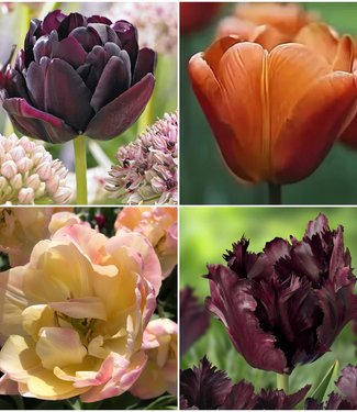 Coffee Tulip Collection