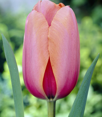 Tulpe Apricot Impression