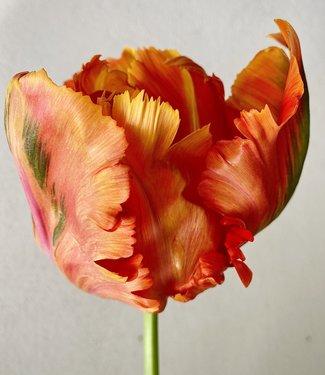 Tulip  Avignon Parrot