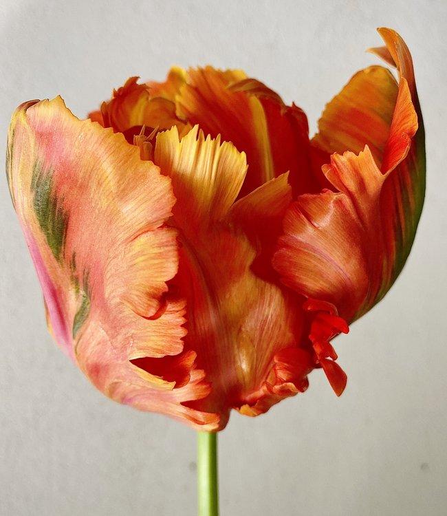 Tulipe Avignon Parrot