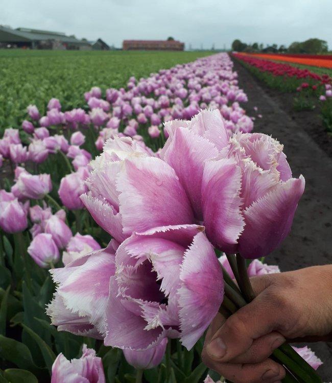 Tulip Versailles