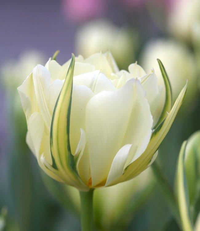 Tulipe Exotic Emperor