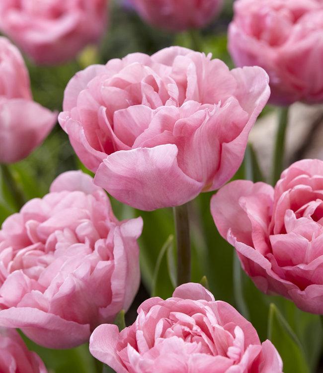 Tulip Mariage