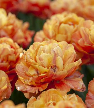 Tulpe Valdivia