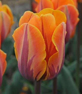 Tulipe Princesse Irène