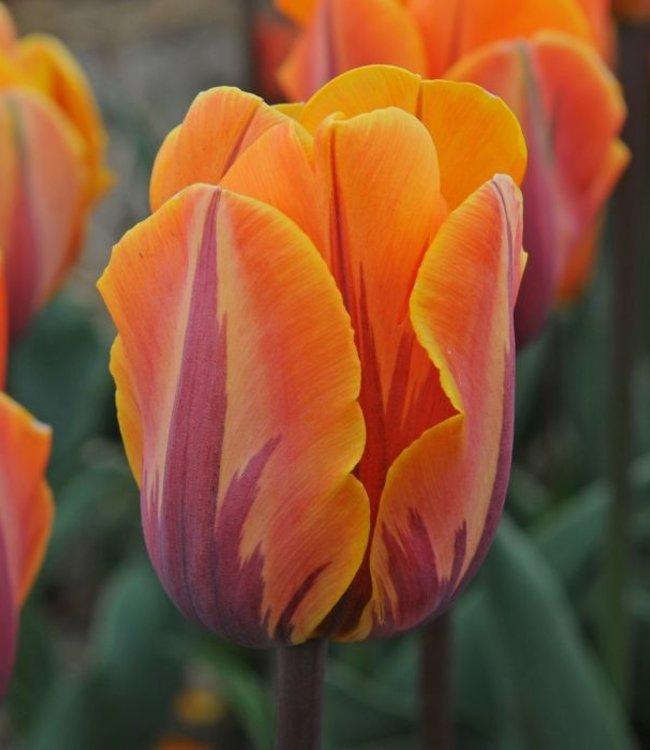 Tulp Prinses Irene