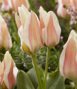 Tulipe Serano