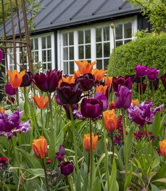 Mélange de tulipes Mette's Marvel