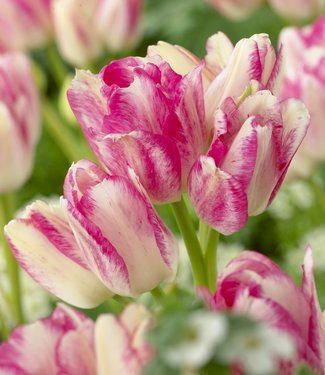 Tulip Dream Club
