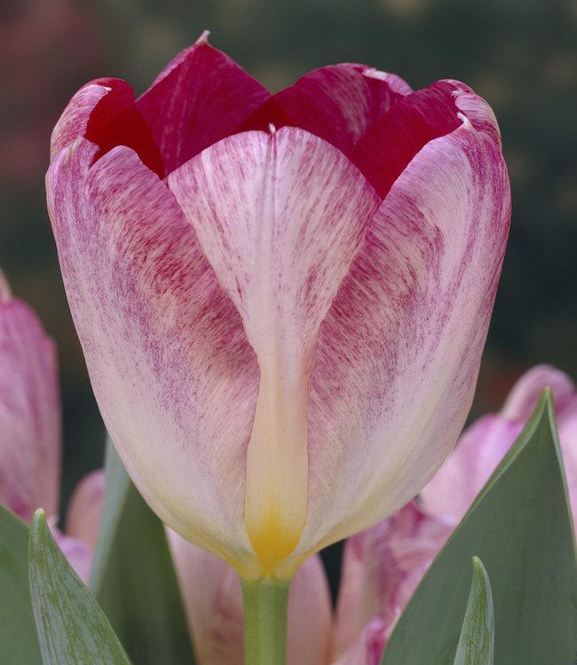 Tulipe Flaming Purissima