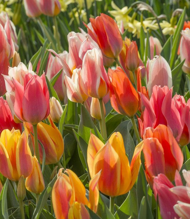 Tulip mixture Fun Colors