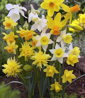 Narcis botanische mix