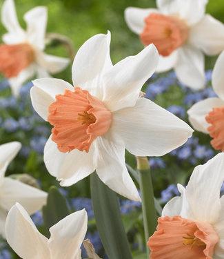 Narcisse Accent
