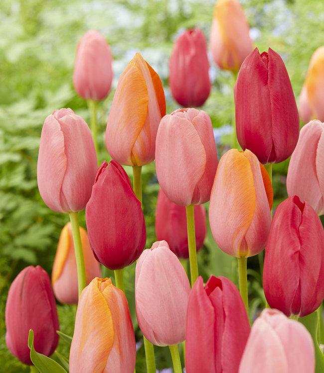 Mélange de tulipes French Rubies
