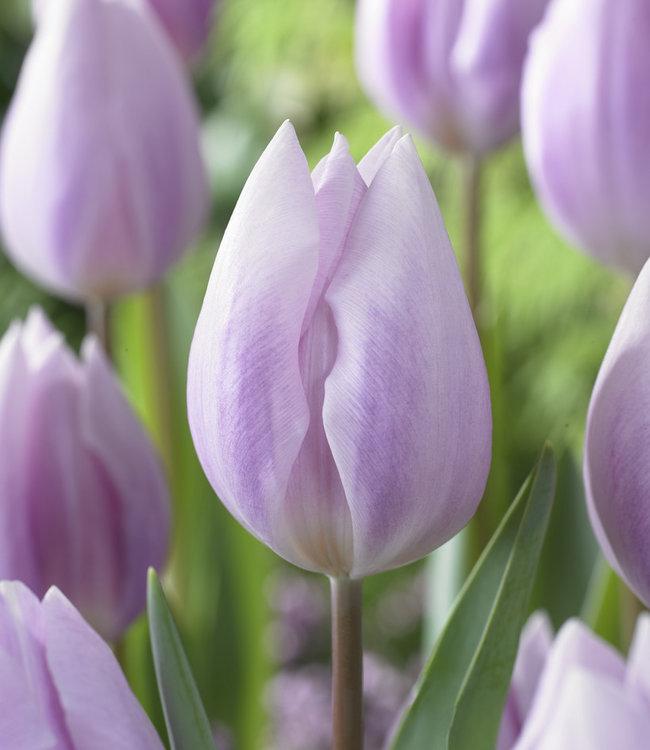 Tulipe Silver Cloud