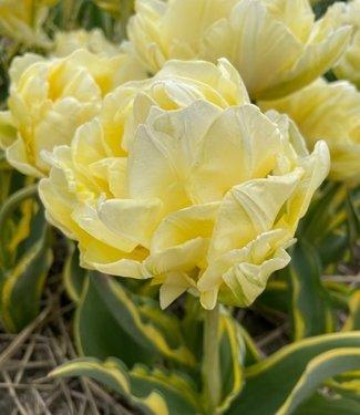 Tulip Verona Design
