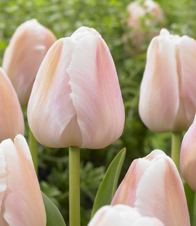 Tulipe Apricot Pride