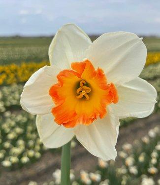 Narcisse Over Easy