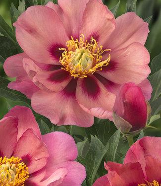 Pfingstrose itoh Old Rose Dandy