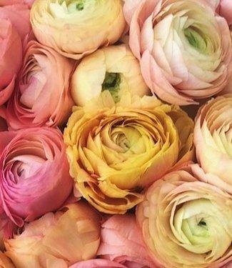 Ranunculus Elegance® Pastello