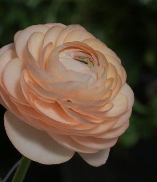 Ranunculus Elegance® Salmone