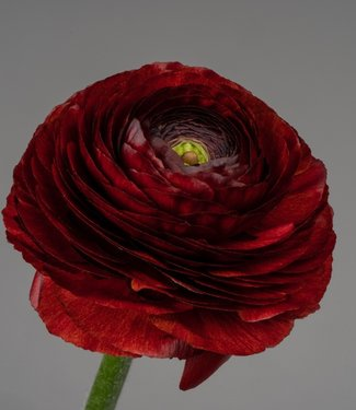 Ranunculus Elegance® Cioccolato