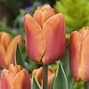 Tulip Brown Sugar