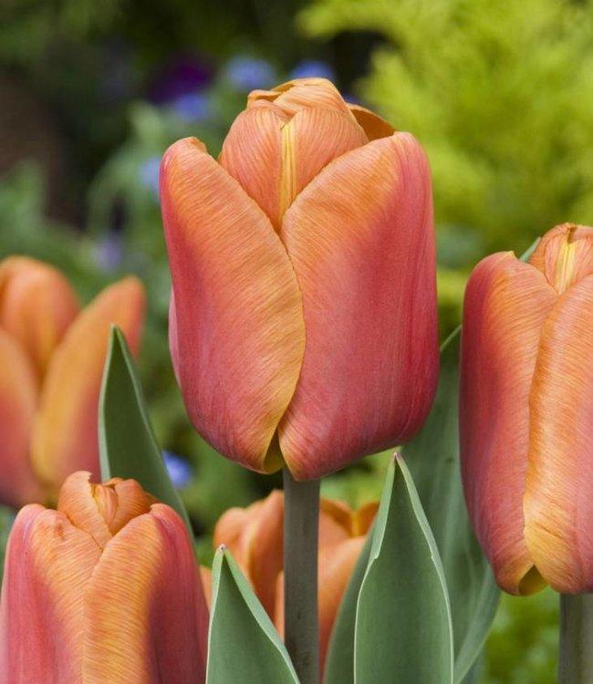 Tulipe Brown Sugar