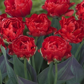 Tulipa Red Wood