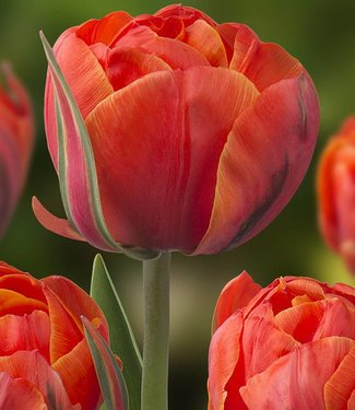 Tulp Queensday