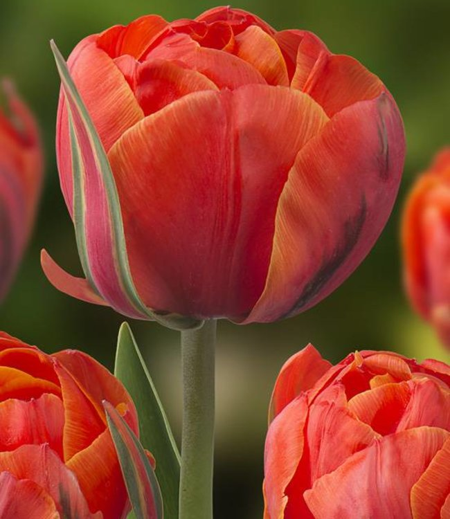 Tulipe Queensday